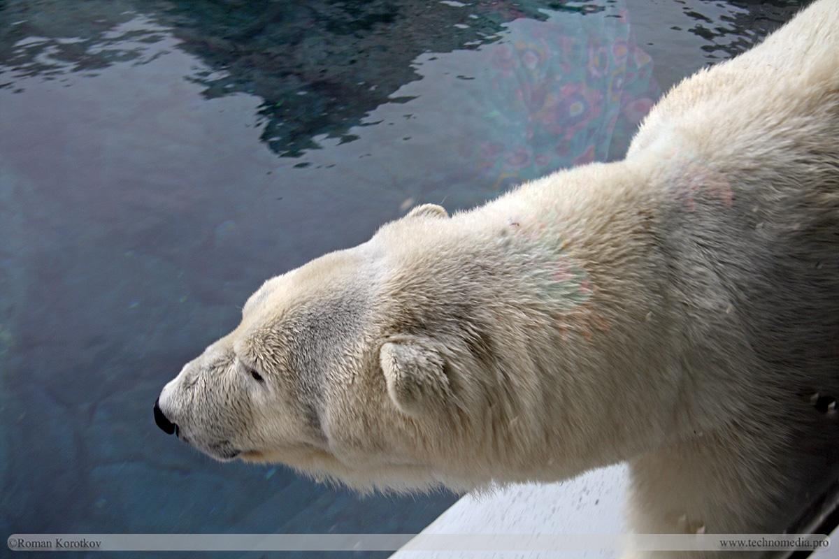 Парк аттракционов Sea World Сан-Диего, Калифорния. Белый медведь