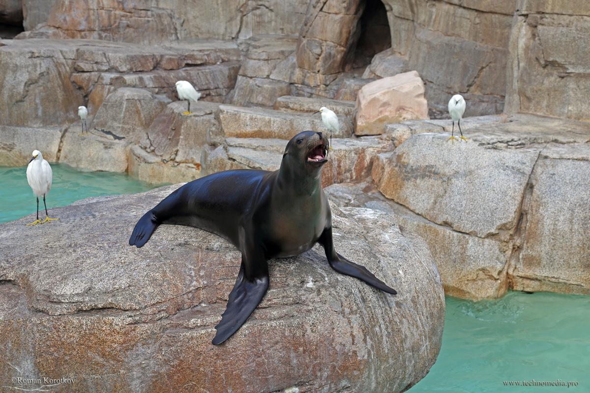Парк океанариум Sea World Сан-Диего, калифорнийский морской лев