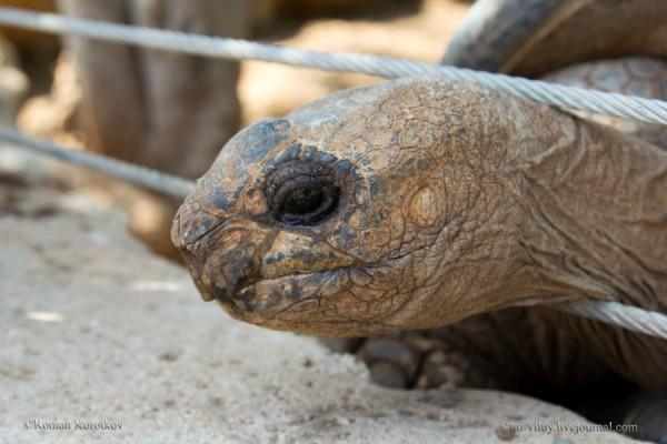 Грустная сейшельская черепаха